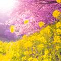 【一足早く春を満喫】南伊豆・みなみの桜と菜の花まつり