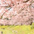 【桜と菜の花の撮影会】静岡県 南伊豆