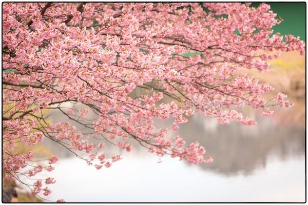 撮影会 静岡 河津桜 菜の花 桜 ロケーションフォト
