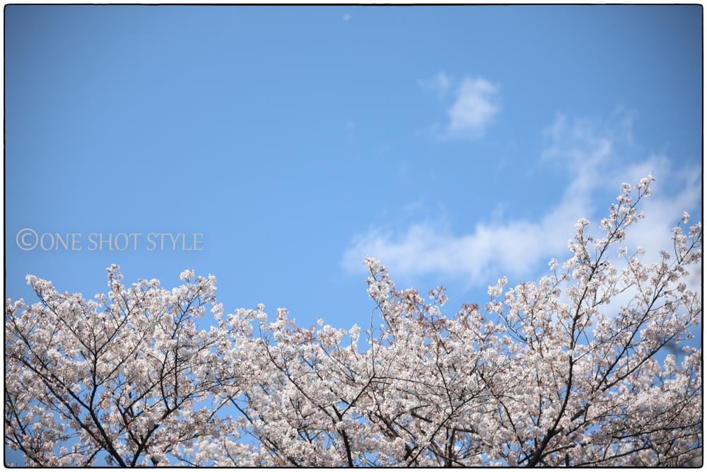 愛知 岩倉 五条川 お花見 桜 桜並木 撮影スポット
